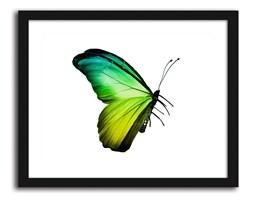 Motyl, Obrazy w ramie