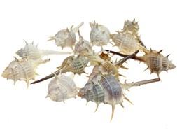 Muszle ostrygi 5-10cm 100g