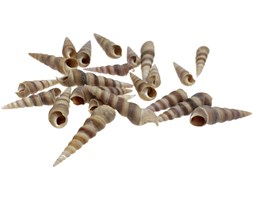 Muszle świderki 5-8cm 100g