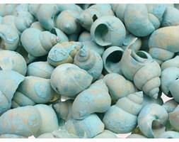 Muszle ślimaki niebieskie 3,5cm 100g