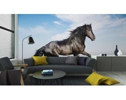 Fototapeta Piękny Czarny Koń Pracuje Kłus
