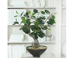 Bonsai Ficus 40 cm - ciemna zieleń