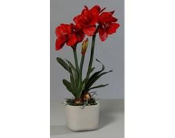 Czerwony Amarylis w Doniczce Cementowej 63 cm