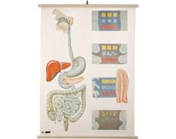 Tablica anatomiczna, Niemieckie Muzeum Higieny w Dreźnie, Niemcy, lata 70.
