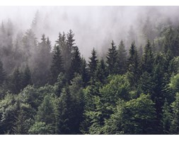 Fototapeta REBEL WALLS | Misty Fir Forest